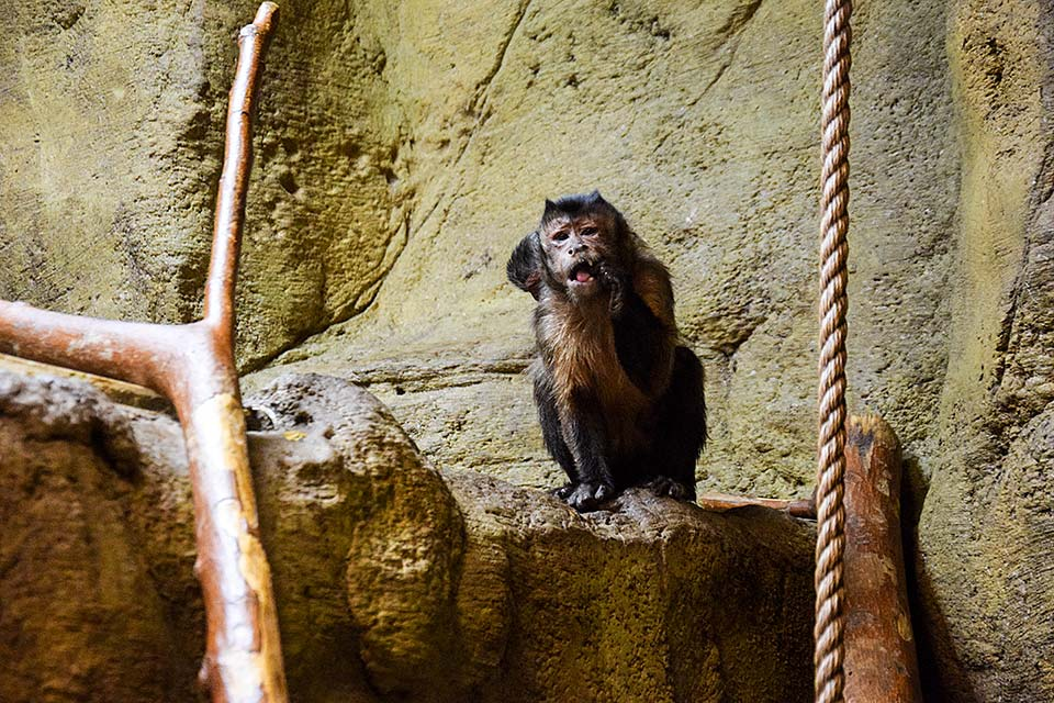 Black Cap Capuchin Monkey